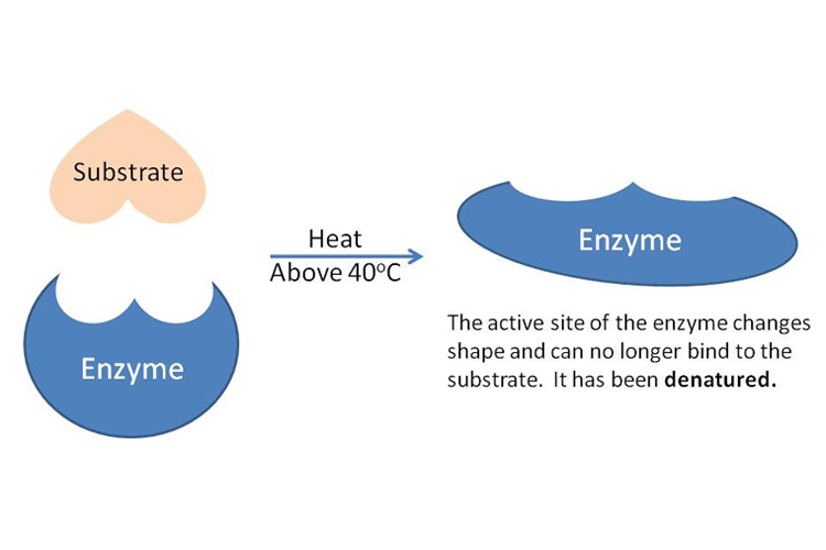http://sciencelearn.org.nz/Contexts/Digestion-Chemistry/Sci-Media/Images/Denatured-enzyme