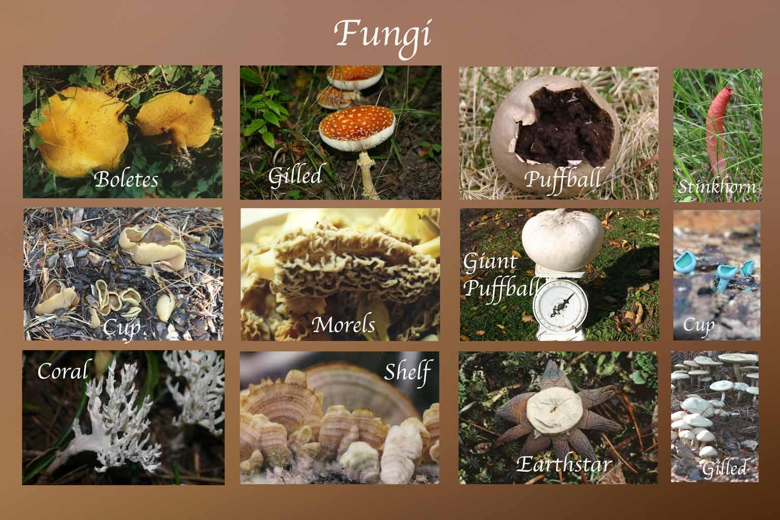 http://www.kusemuseum-naturepreserve.org/Plants/PlantsOther/Fungi.htm