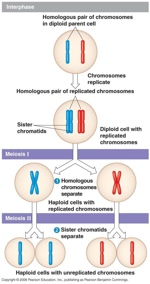 http://thegreatestgarden.com/2014/11/how-to-knowing-meiosis-diagram.html