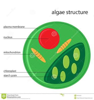 www.dreamstime.com/stock-illustration-vector-algae-structure-illustration-description-image50154427