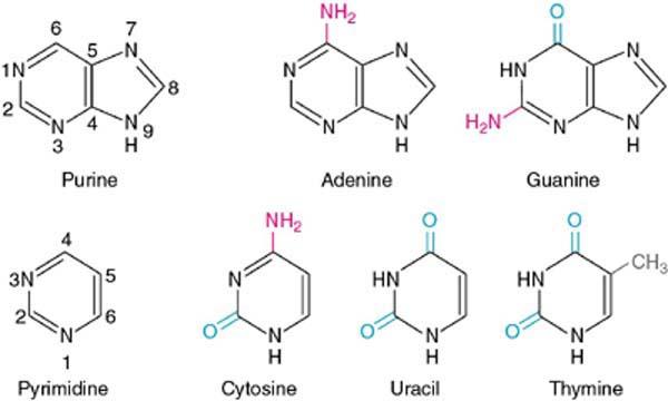 http://pratclif.com/biologie-moleculaire/dna/bases.htm