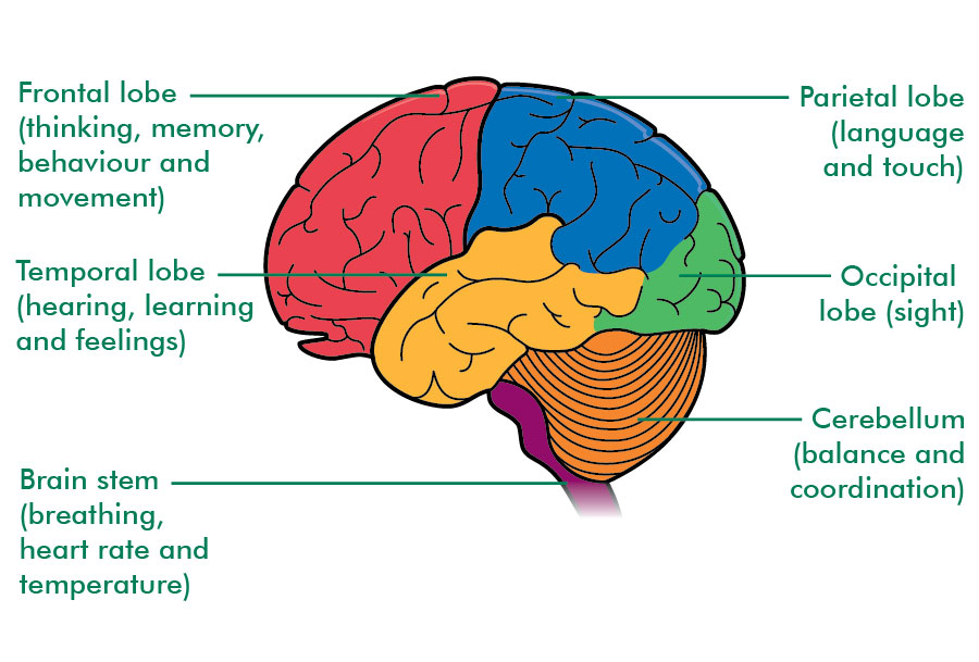 http://www.macmillan.org.uk/_images/Brain-lobes-functions-labelled_tcm9-155258jpg