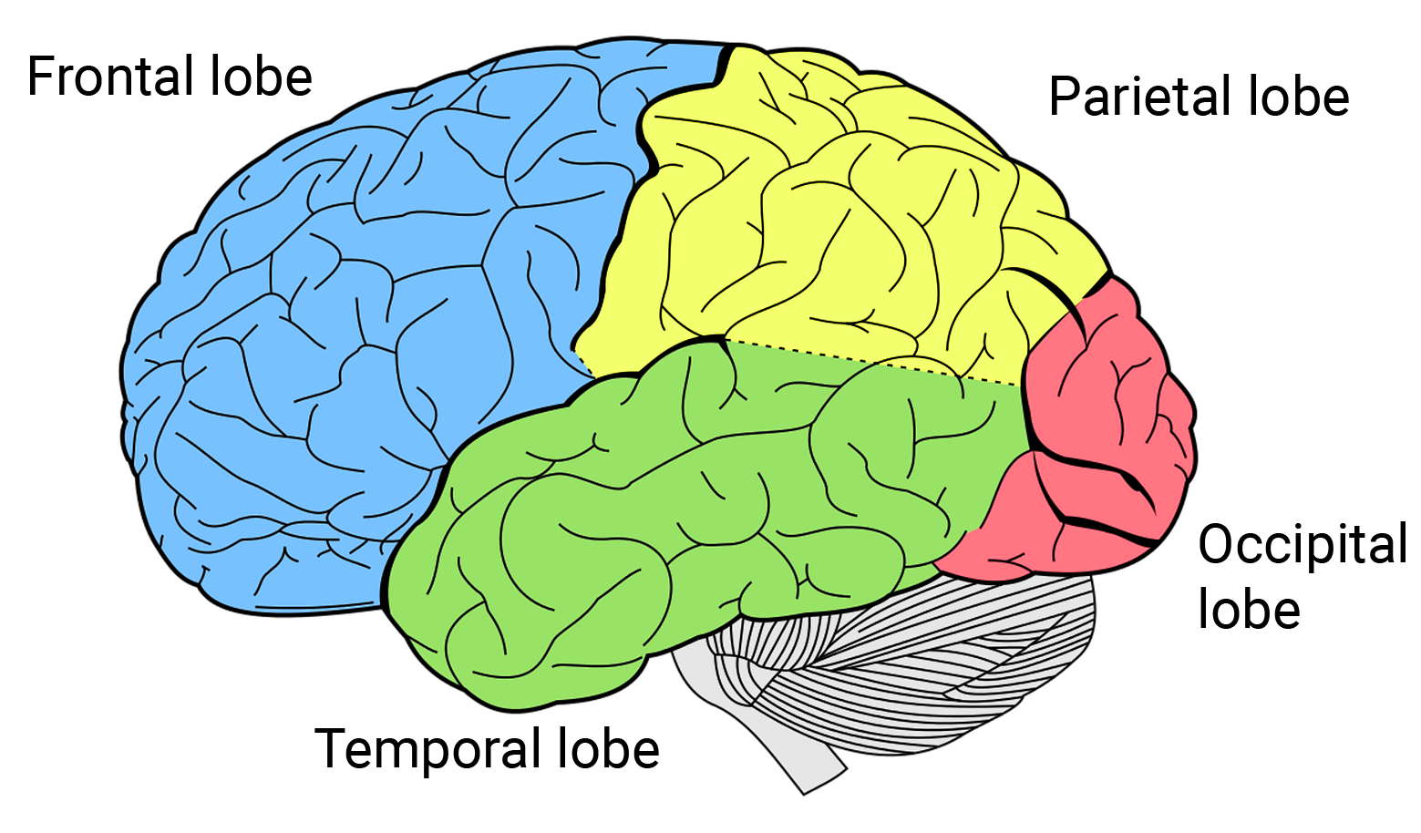https://qbi.uq.edu.au/files/7887/QBI-brain-lobes-neuroscience.png