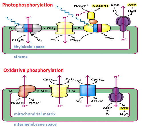 https://www.studyblue.com/notes/note/n/ch-19-the-light-reactions-of-photosynthesis/deck/10634388 (adapted)