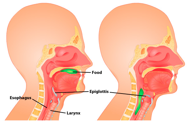 http://anatomy-medicine.com/digestive-system/25-the-epiglottis.html