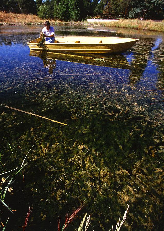 http://wric.ucdavis.edu/information/aquatic/eurasian.htm