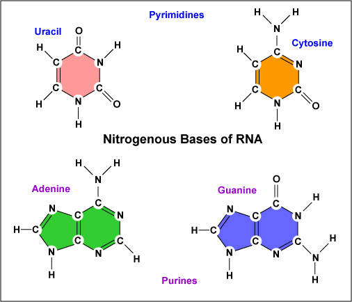 http://faculty.ccbcmd.edu/~gkaiser/SoftChalk%20BIOL%20230/Molecular%20Genetics%20Review/RNA/RNA_print.html