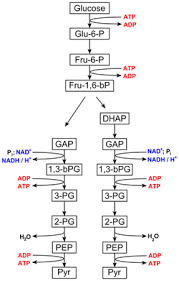 https://study.com/academy/lesson/what-pathway-does-cellular-respiration-begin-with.html