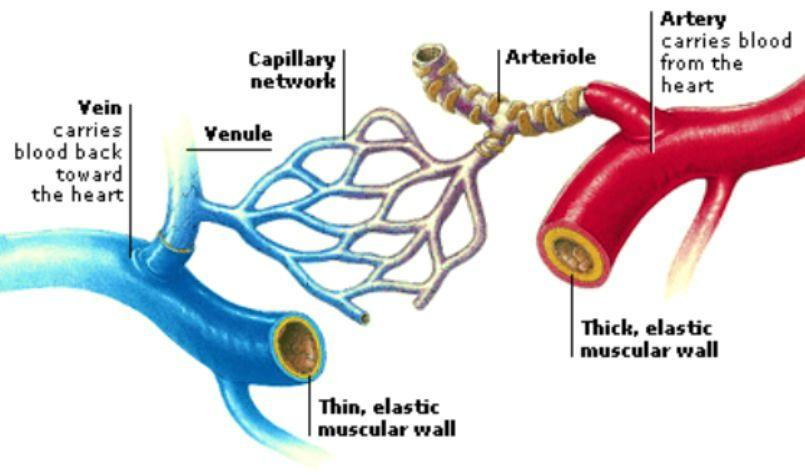 What is the difference between veins, arteries and ...