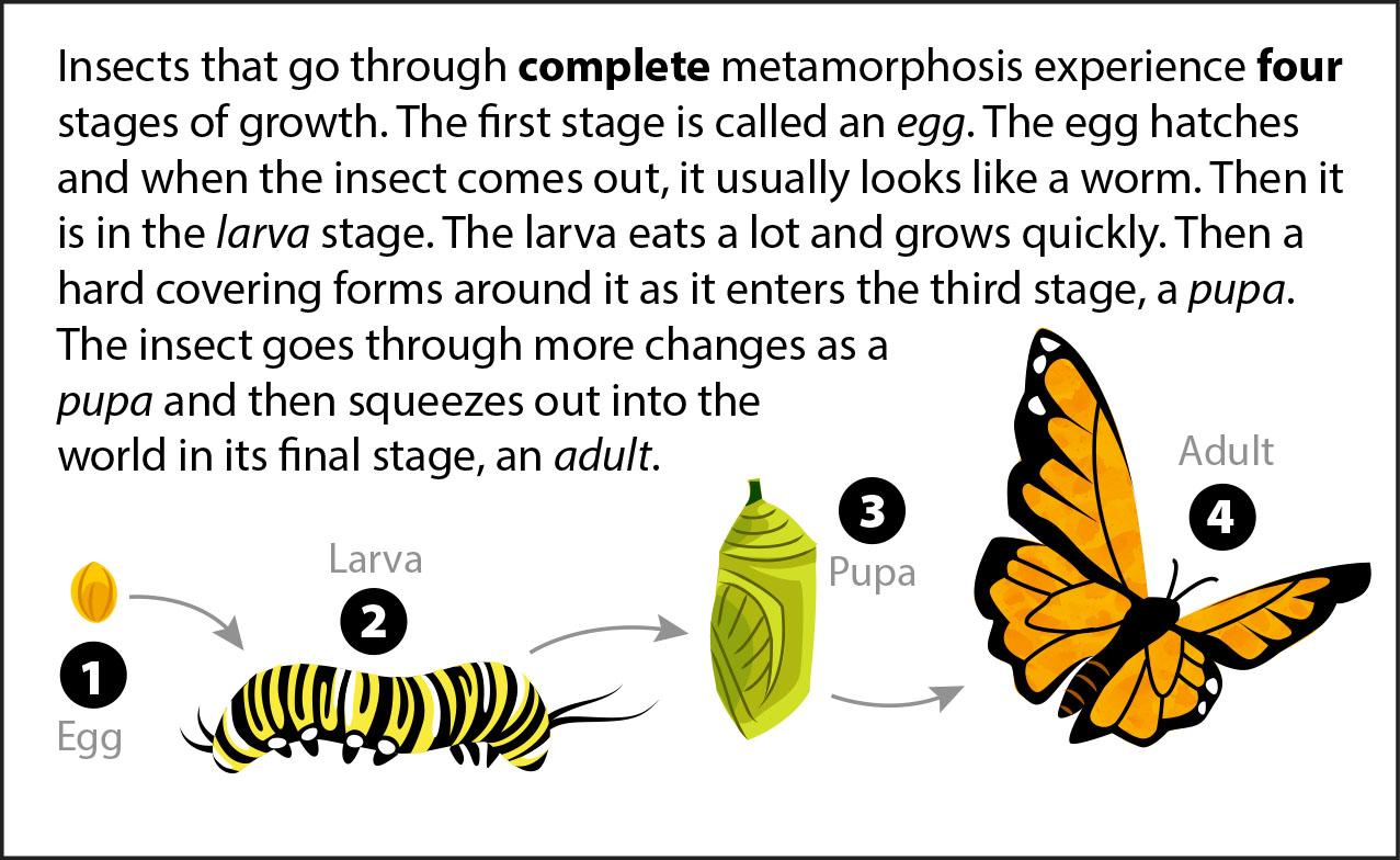 https://askabiologist.asu.edu/sites/default/files/biology-bits/slides/biology-bits-metamorphosis-slide-6.jpg