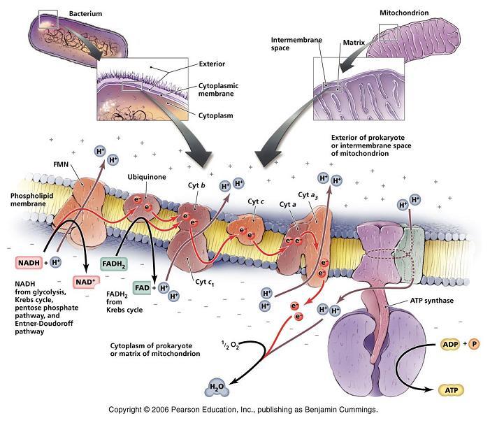 http://spot.pcc.edu/~jvolpe/b/bi234/lec/3_metabolism/metabolism_3t_alt.htm