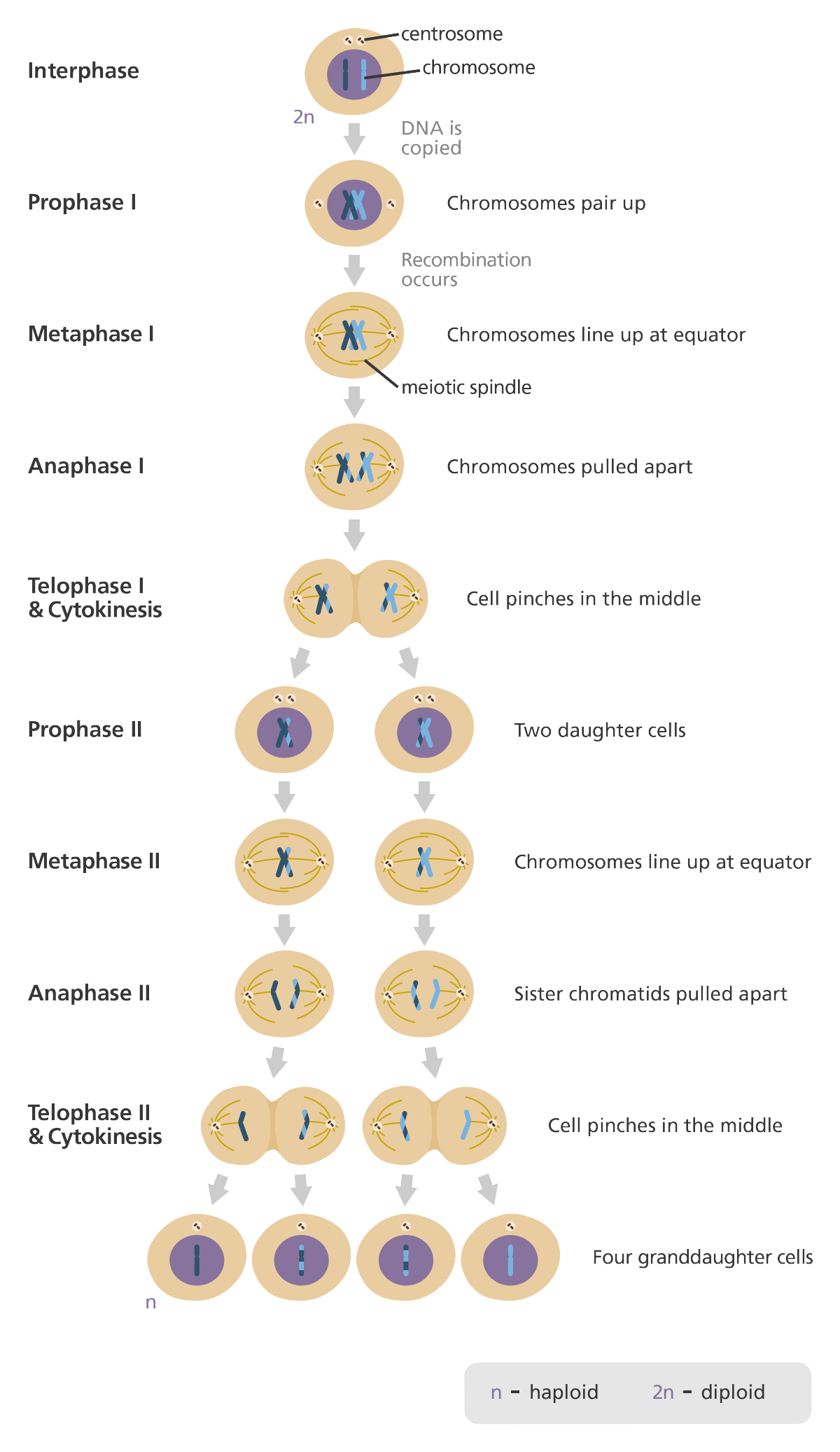 Meiosis Terminology Answers : Solved: Chapter 28 Homework ...