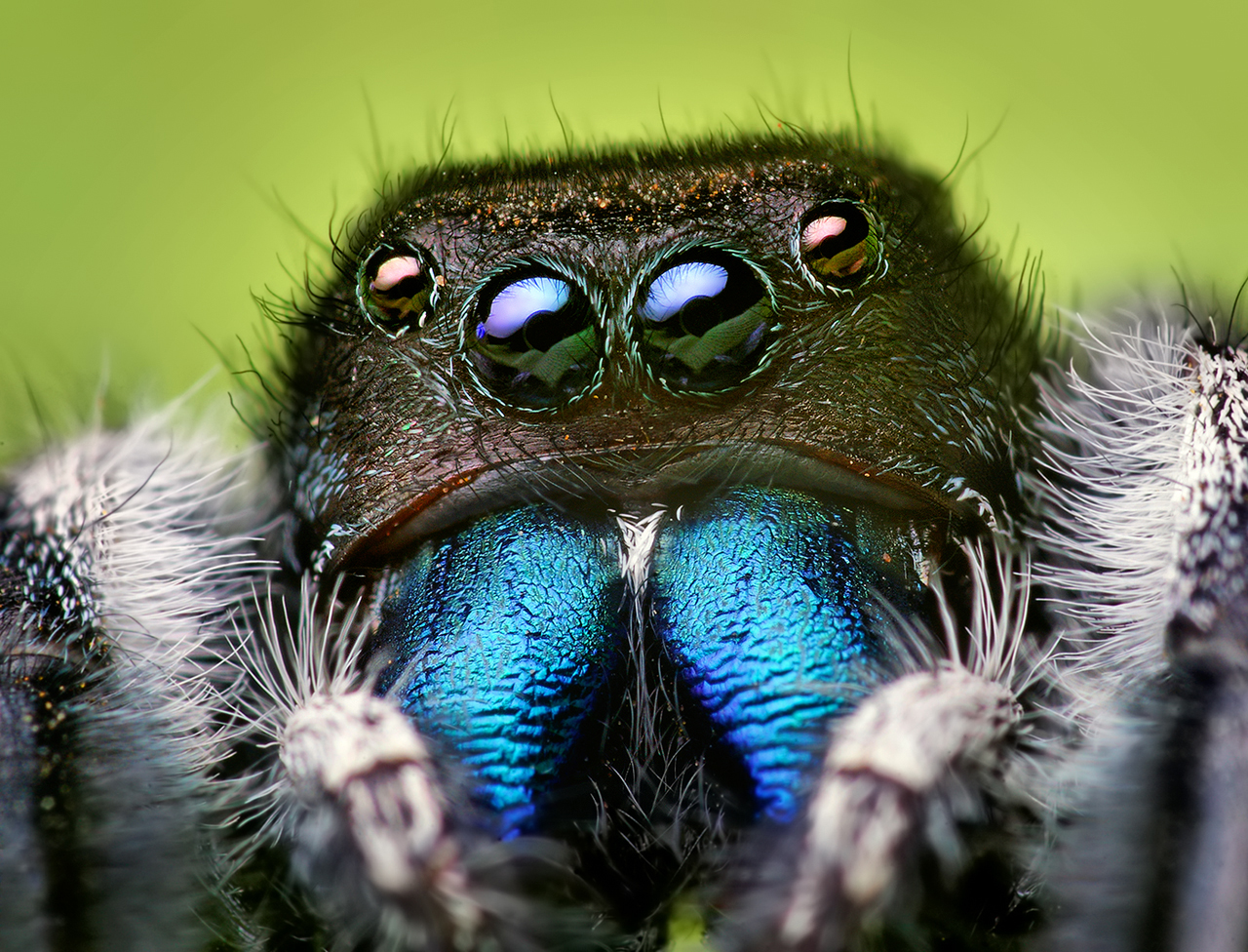 Acrachnid jumping spider from Wikimedia Commons