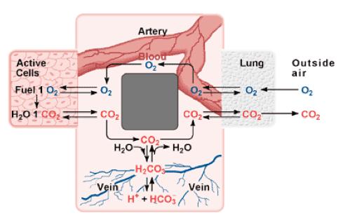 https://fmss12uchemd.wordpress.com/2013/05/06/carbonic-acid-bicarbonate-buffer-system/