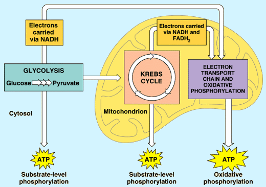 How Does Aerobic Respiration Release Energy From Glucose Socratic