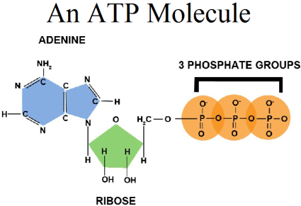https://biophilic.blogspot.in/2017/03/why-atp.html