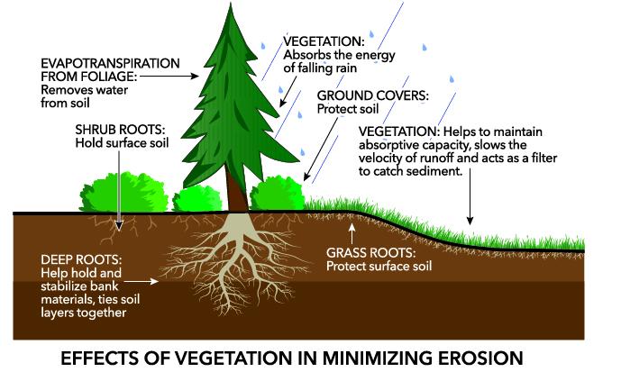 http://shorestewards.cw.wsu.edu/faq/using-plants-trees-for-stability/