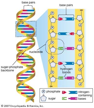 https://global.britannica.com/science/DNA