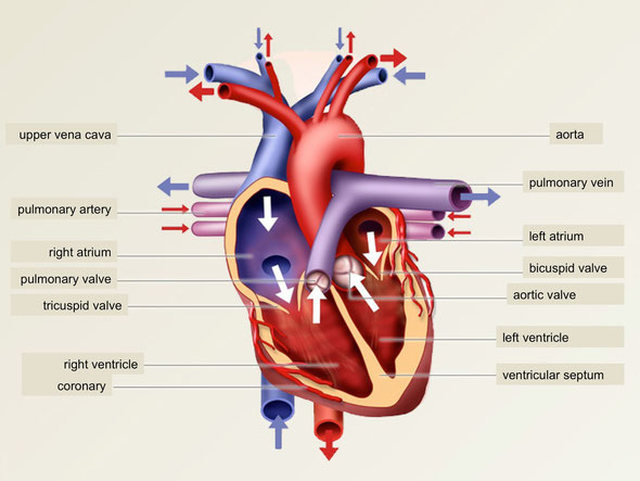 Where is the tricuspid valve located? What is its purpose ...