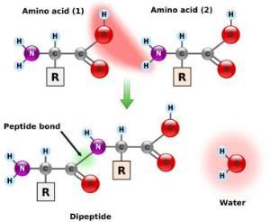 http://www.encyclopedia.com/topic/amino_acid.aspx