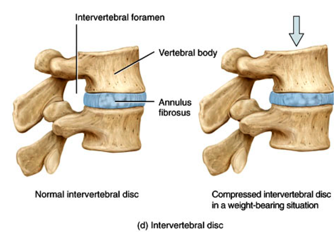 What Are Some Examples Of Cartilage Socratic