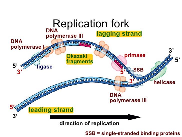 https://www.slideshare.net/MsAllenBio/dna-replication-6839852