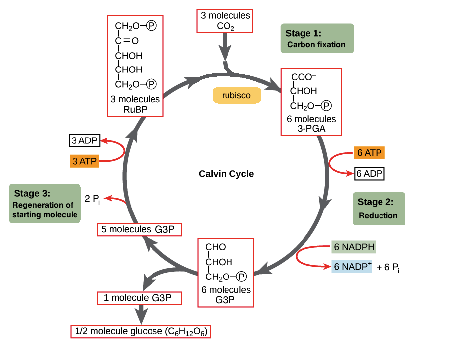 What happens during the Calvin-Benson cycle, or dark ...