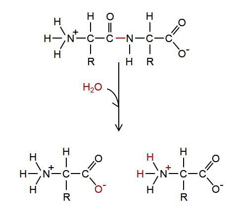 https://www.boundless.com/biology/textbooks/boundless-biology-textbook/biological-macromolecules-3/synthesis-of-biological-macromolecules-53/hydrolysis-295-11428/