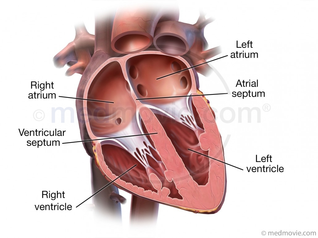 http://medmovie.com/topic/cvml_0014a/chambers-of-the-heart/