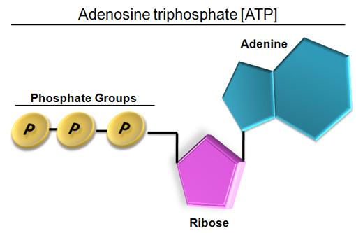 http://galliziaclasse20.blogspot.com/2012/05/adp-and-atp.html: Adenosine Phosphate