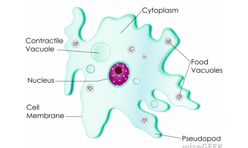 lloydscientists.weebly.com/amoeba.html