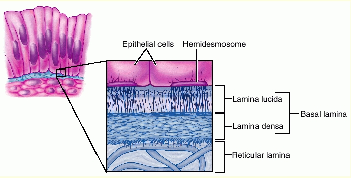 What Are The Two Layers Of The Basement Membrane And What Makes Each Layer Socratic