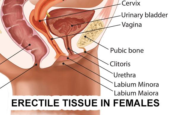 https://drelist-wpengine.netdna-ssl.com/wp-content/uploads/2014/09/erectile-tissue-in-women.jpg