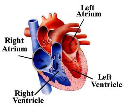 What are the 4 chambers of the heart?   Socratic