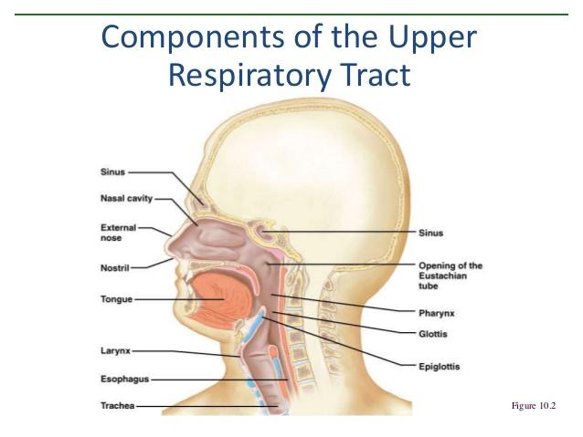 https://image.slidesharecdn.com/respiratorysystem-140207100944-phpapp01/95/respiratory-system-3-638jpg?cb=1391767891