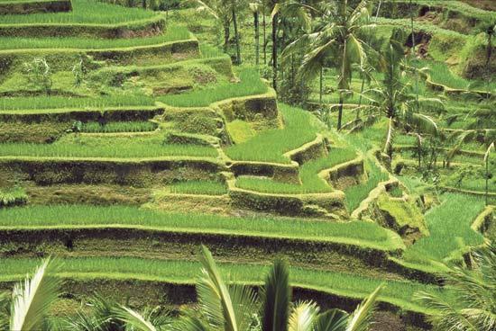 http://www.britannica.com/plant/rice/images-videos