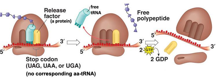 Termination of translation in the ribosome