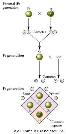 http://bioserv.fiu.edu/~walterm/genbio2004/chapter10_trans_genetics/genetics_pics_post.htm