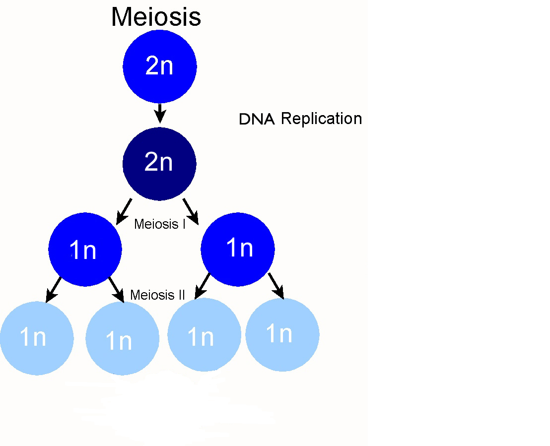 https://socratic.org/biology/the-eukaryotic-cell/meiosis
