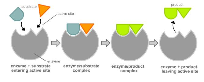 The diagram below shows one theory of enzyme action Describe and explain  what is happening at each stage. What enzyme theory does this represent? |  SocraticSocratic