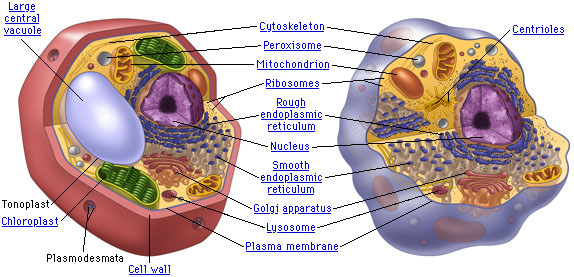 http://cells-breannaolivia.weebly.com/animal-cells-vs-plant-cells.html