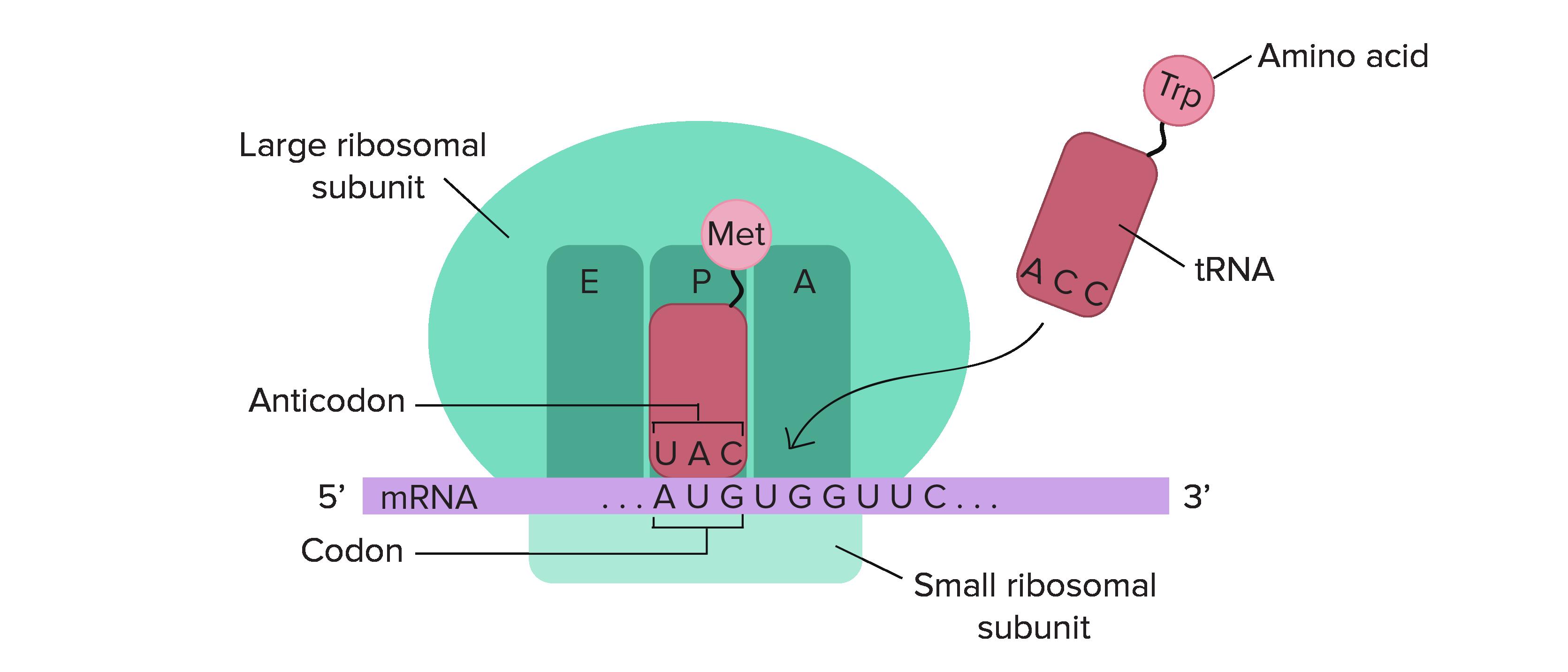 https://www.khanacademy.org/science/biology/gene-expression-central-dogma/translation-polypeptides/a/translation-overview