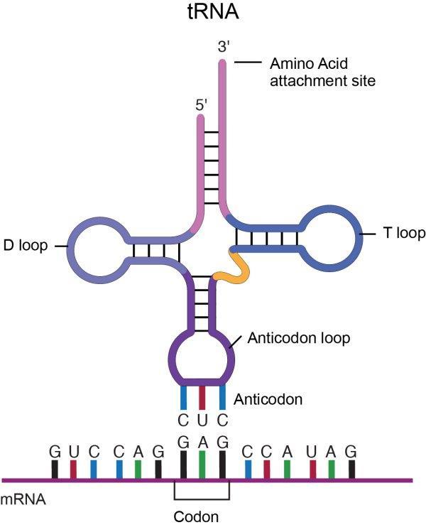 Transfer RNA molecule structure