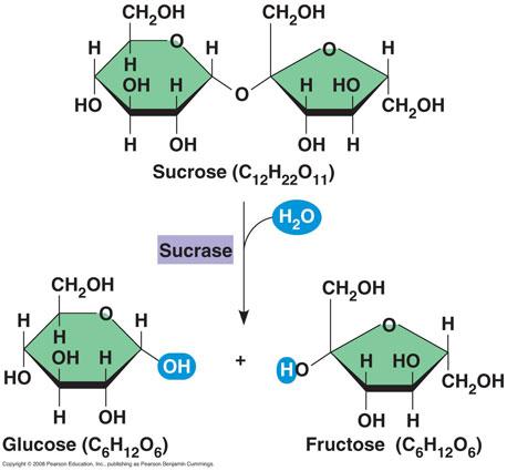 http://aecbio11.wikia.com/wiki/File:Hydrolysis.sucrose.jpg