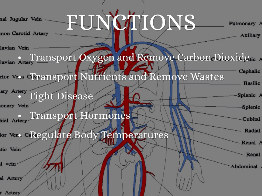 What does the cardiovascular system do? | Socratic