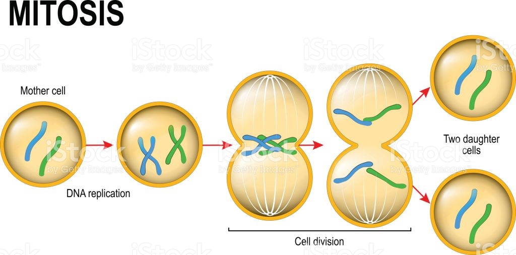 https://www.istockphoto.com/vector/mitosis-cell-division-gm687251074-126650855