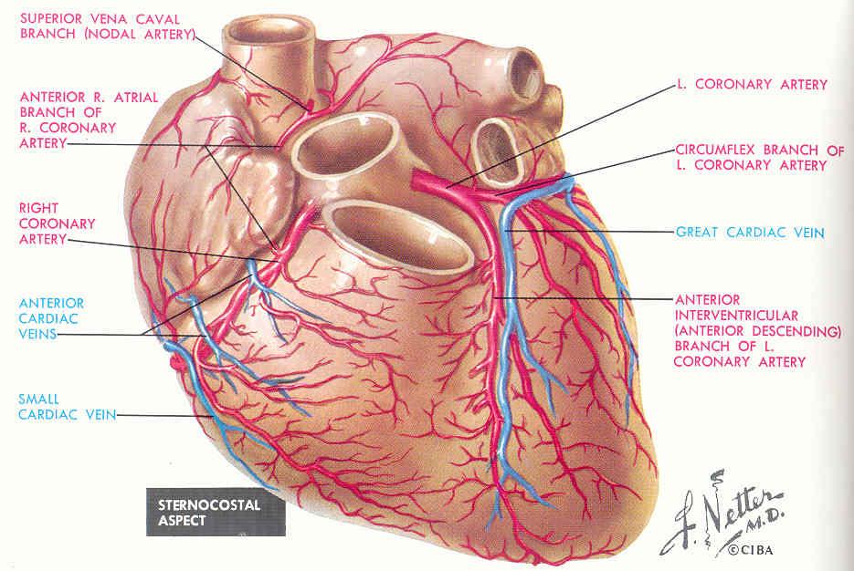 Netter - Atlas de anatomía humana