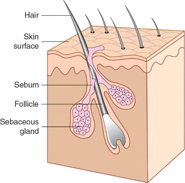 What Integumentary Gland Secretes Sebum