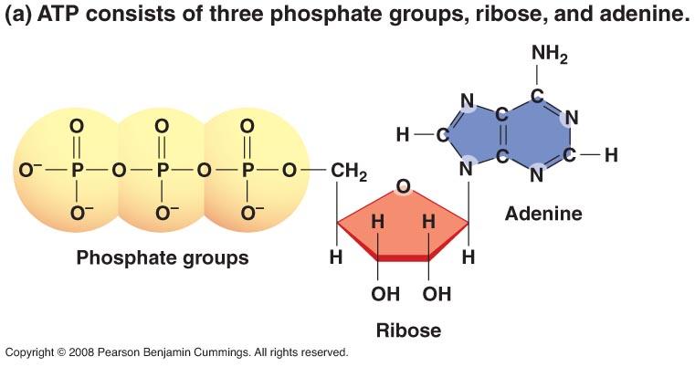 https://burningscience.wordpress.com/atp-adenosine-triphosphate/