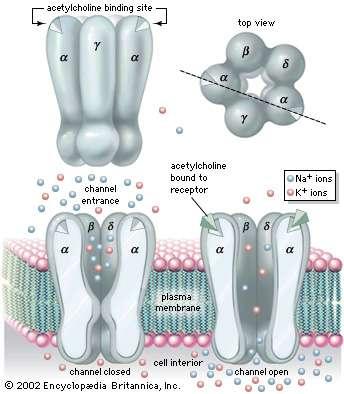 https://www.britannica.com/science/acetylcholine-receptor